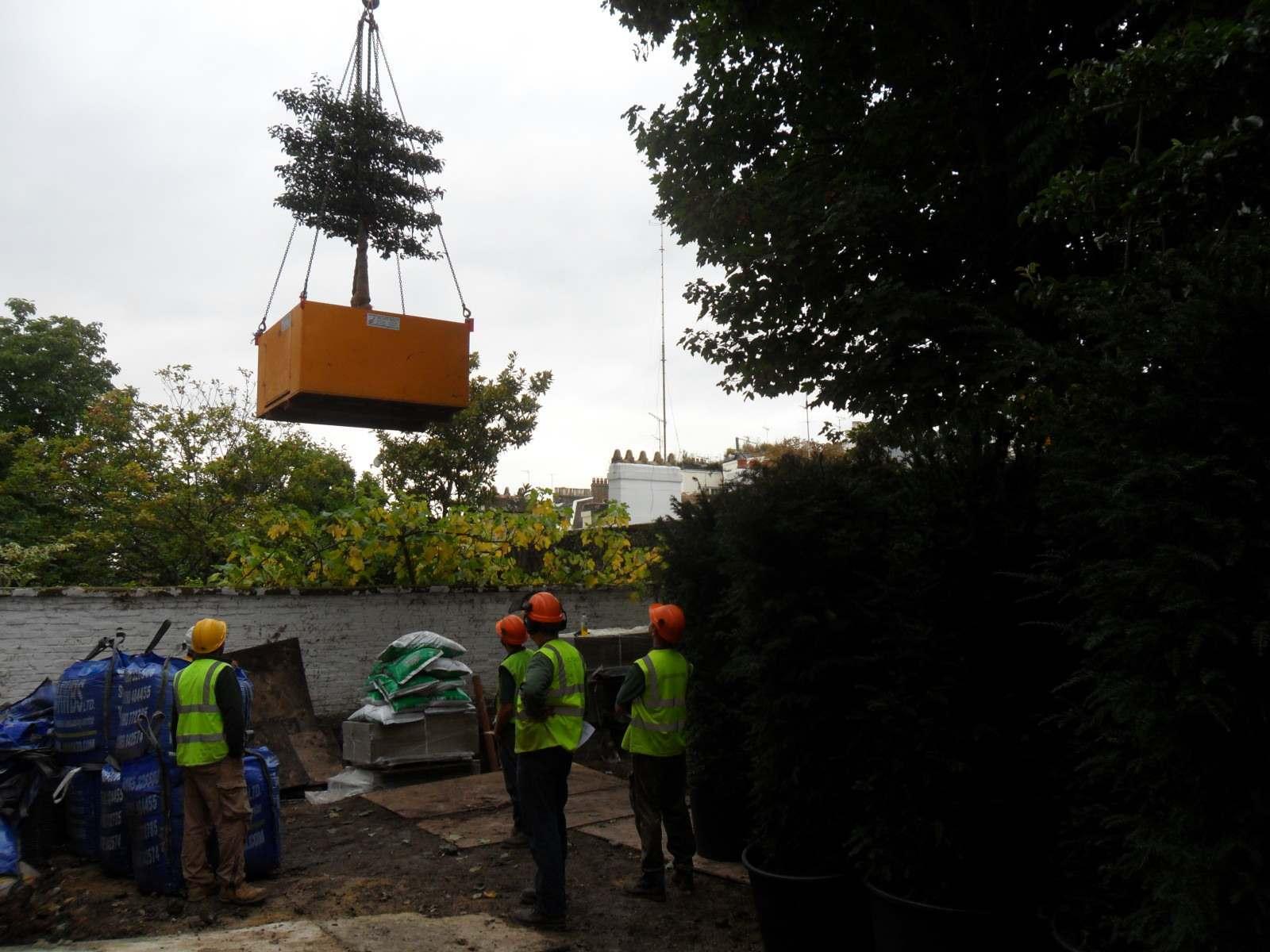 Specimen_tree_crane_lifting_city_garden_construction_specialist