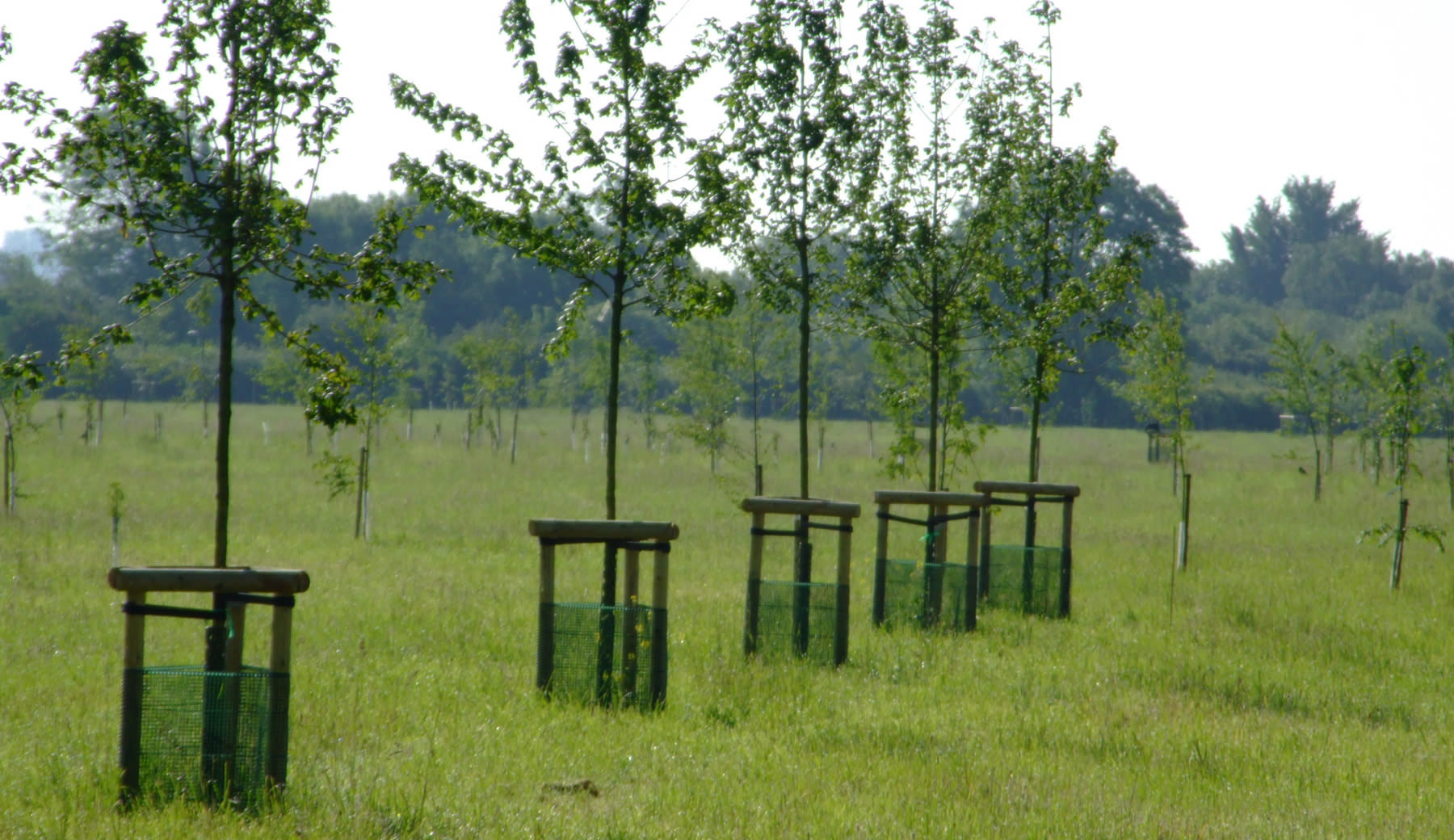 Newly_planted_parkland_trees_guards_meadow