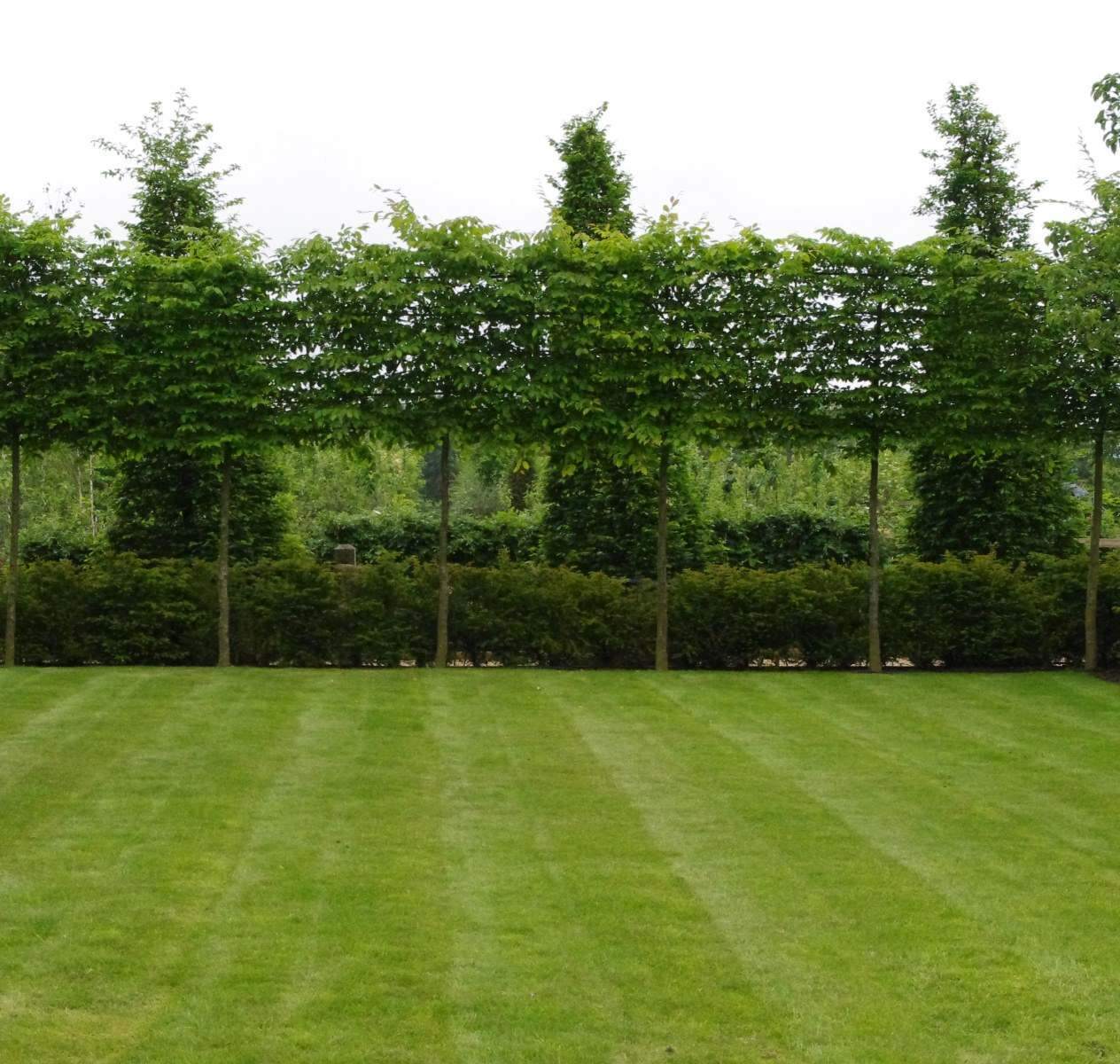 trees_pleached_hedges_topiary-SCREENING_green_wall_living_screen_wall_