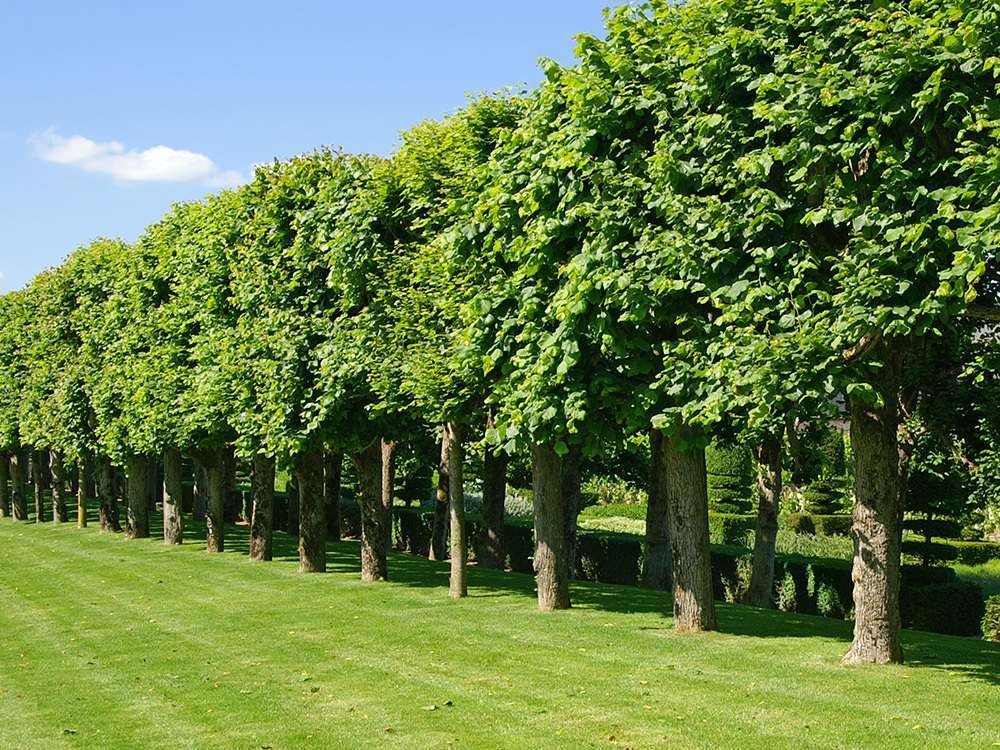 Screening With Trees And Hedges Nicholson Nurseries