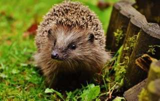 hedgehog-child-1759029_1920