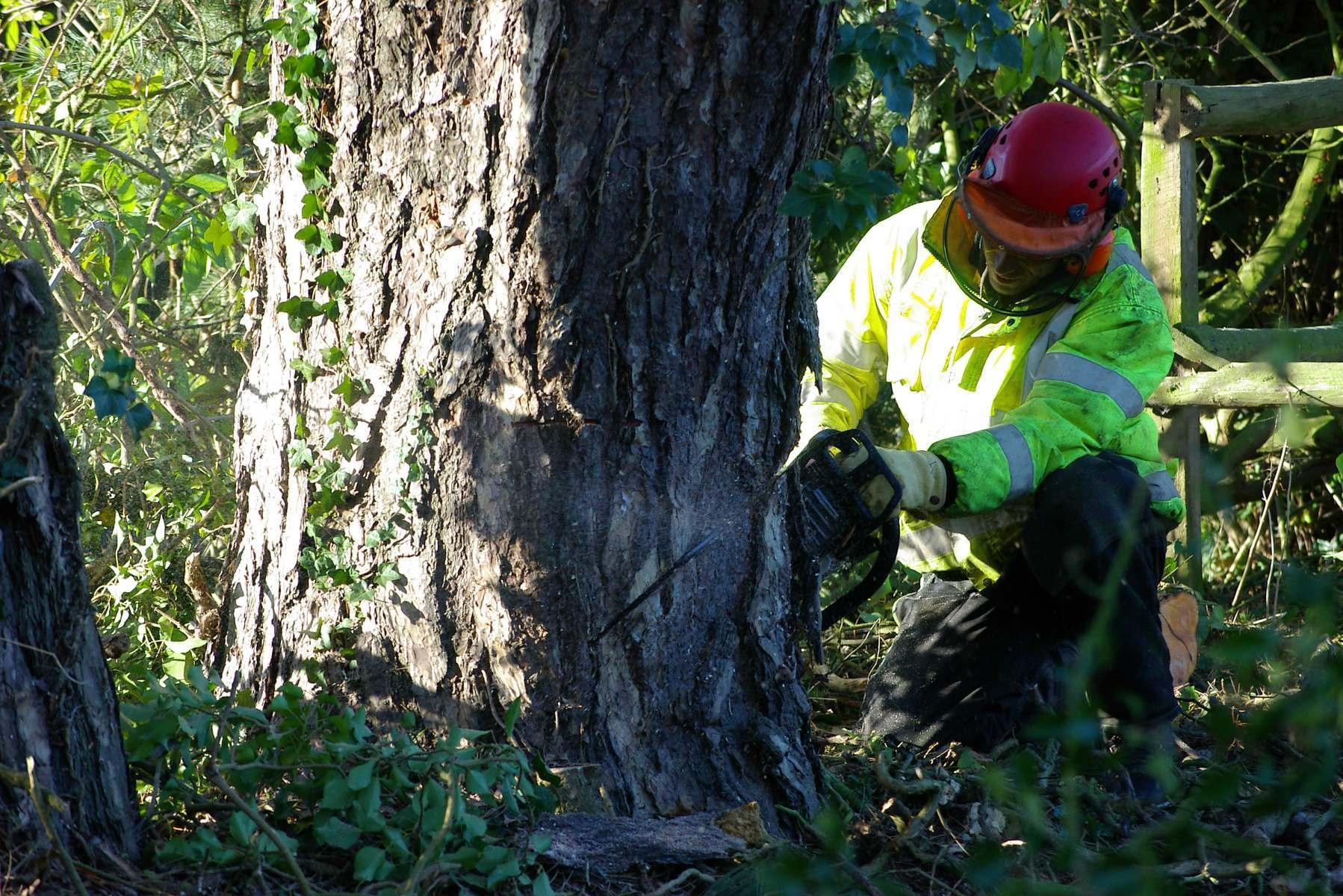 Tree_surgeon_making_cut_to_begin_felling_large_tree