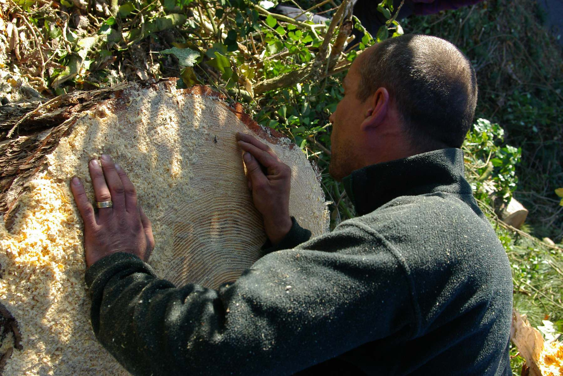 inspecting_newly_felled_tree_rings_age