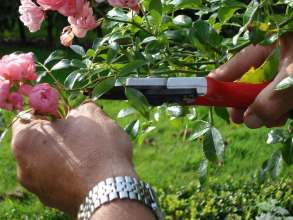 rose_pruning_trained_staff_specialist_secateurs