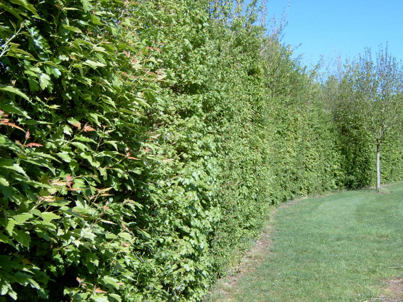 Mixed_native_hedge_screen_barrier_boundary