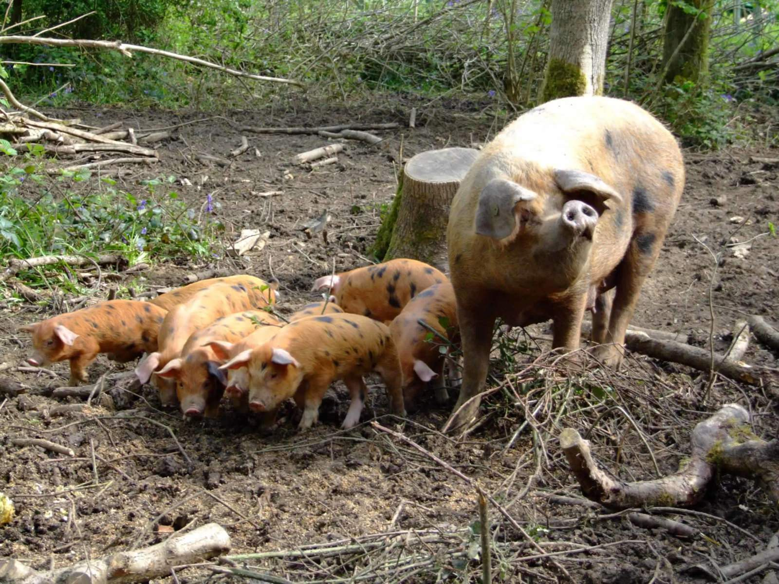 newly_planted_trees_pigs_poultry_riding_trails_bikes_cattle_diversification