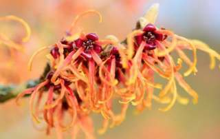 Hamamelis during the winter