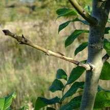 Ash dieback bark stripped back on affected tree