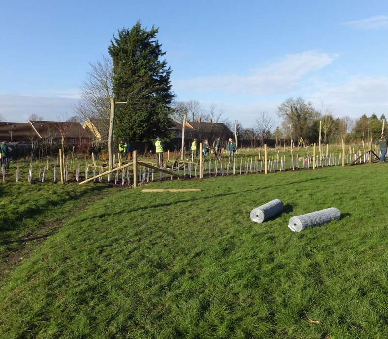 Rows of hedgerow planted in the new forest school at Rose Hill