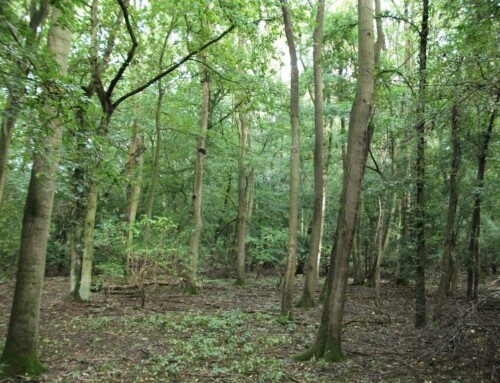 The Ash Woodland