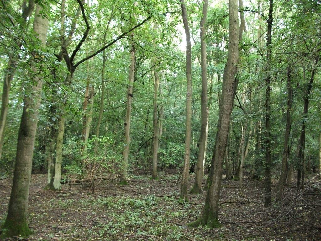 The Ash Woodland
