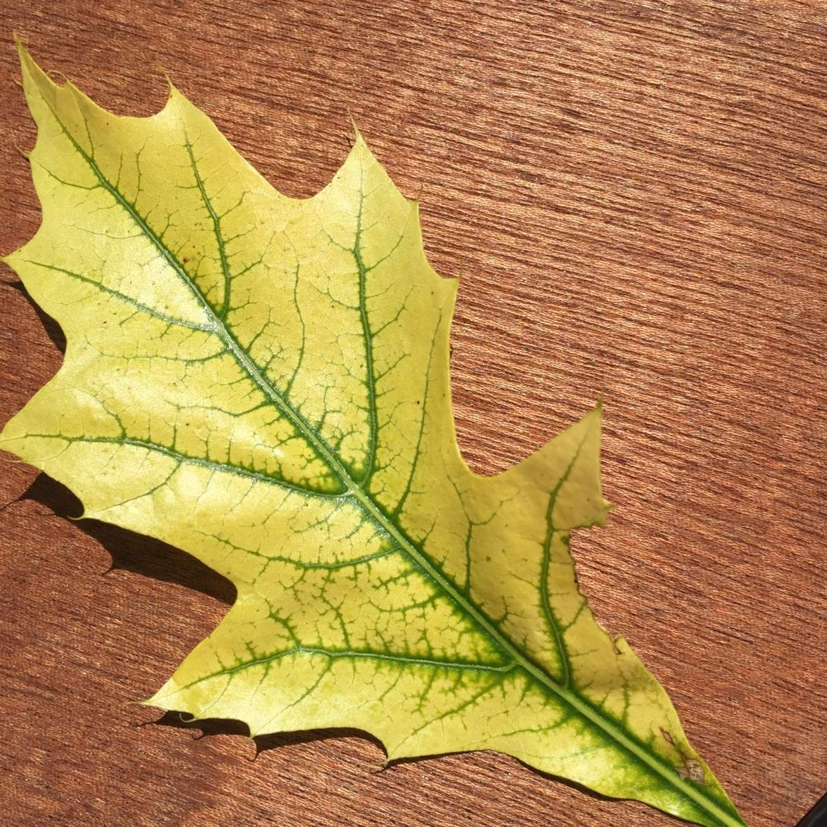 The not so Mellow Yellow story of the simple leaf