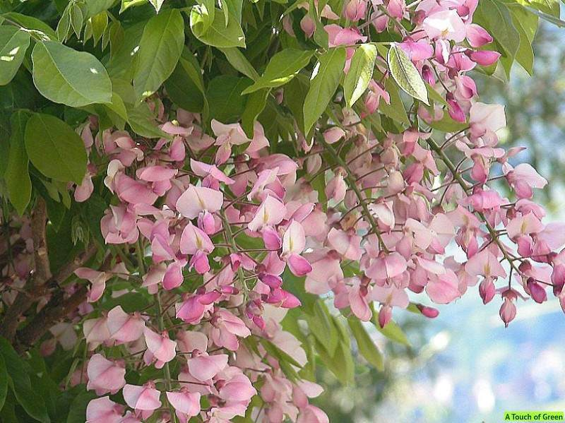 The Wonders of Wisteria