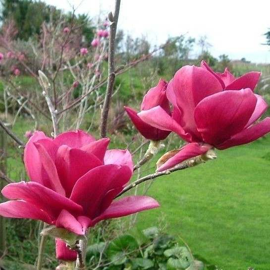 The Beauty of Magnolias
