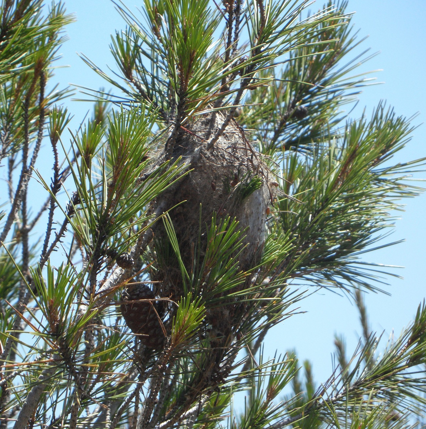 Identifying Pine Processionary moth