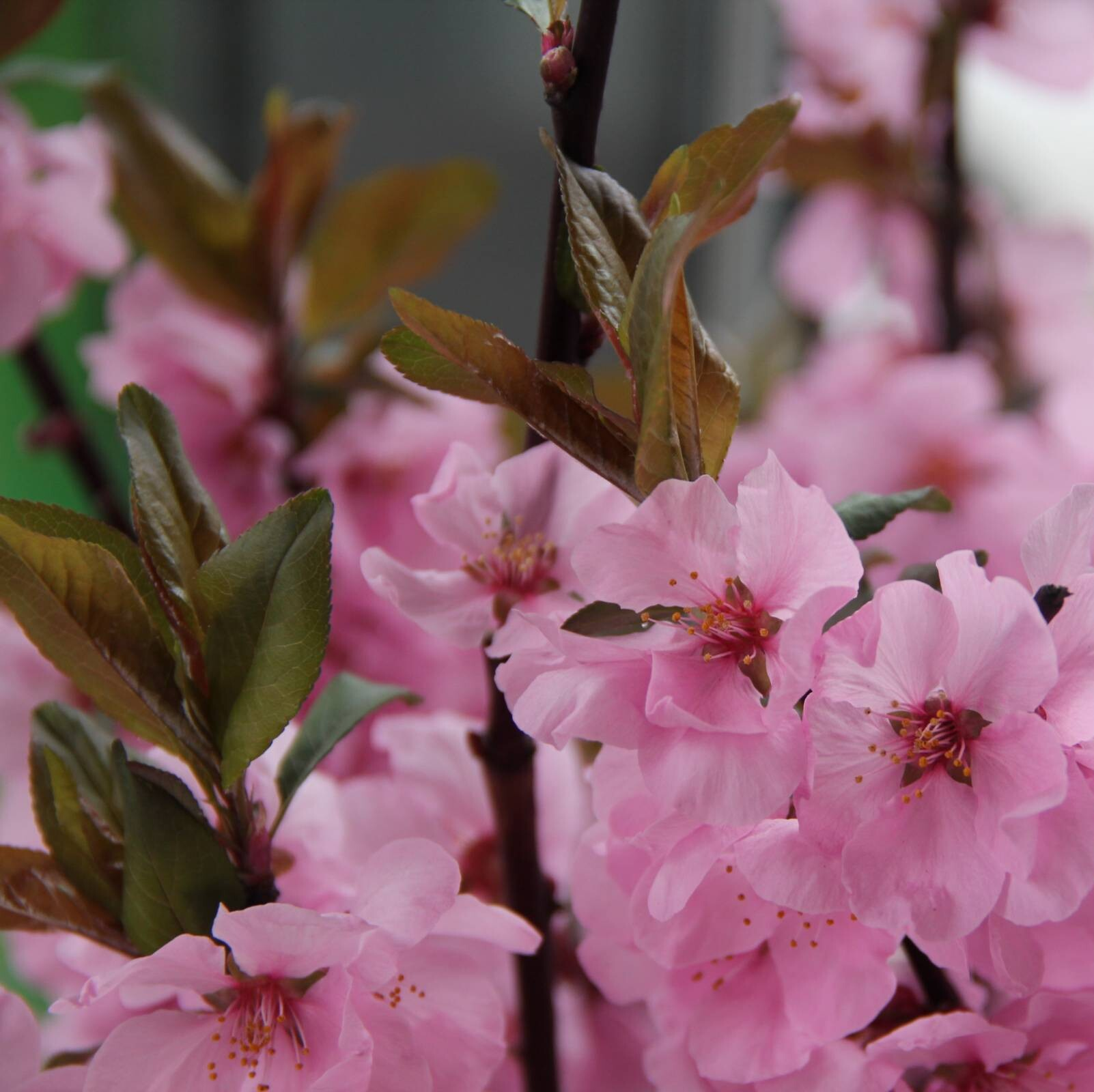 Flowering Cherry Season