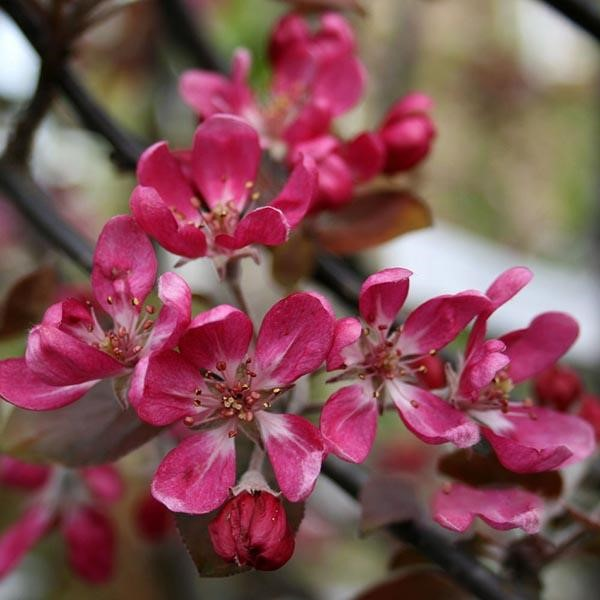Supporting Our Wonderful Pollinators with Crab Apples