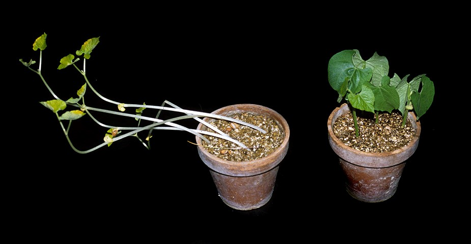 Dealing with Plant Disorders: Non-nutritional Disorders Part 2