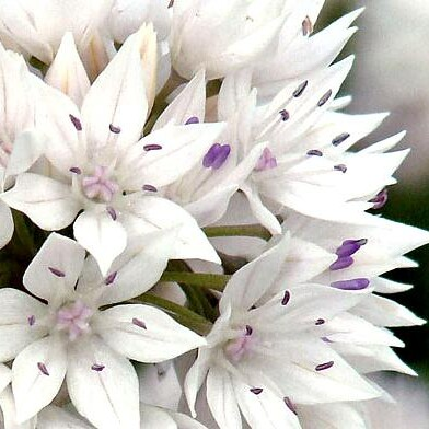 Bulbs for Late Spring and Summer Interest