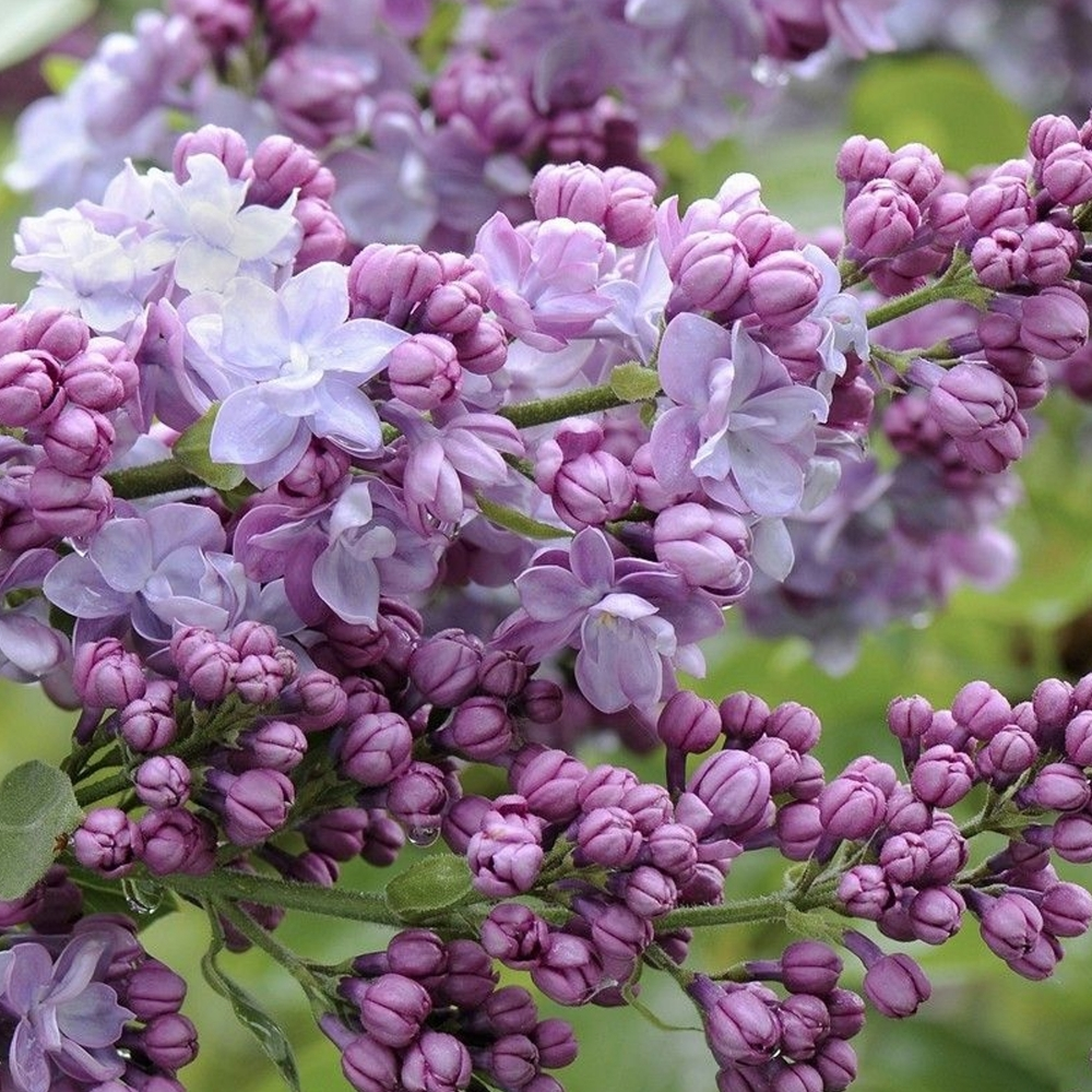Shrubs From Our Childhoods: A Trip Down Memory Lane