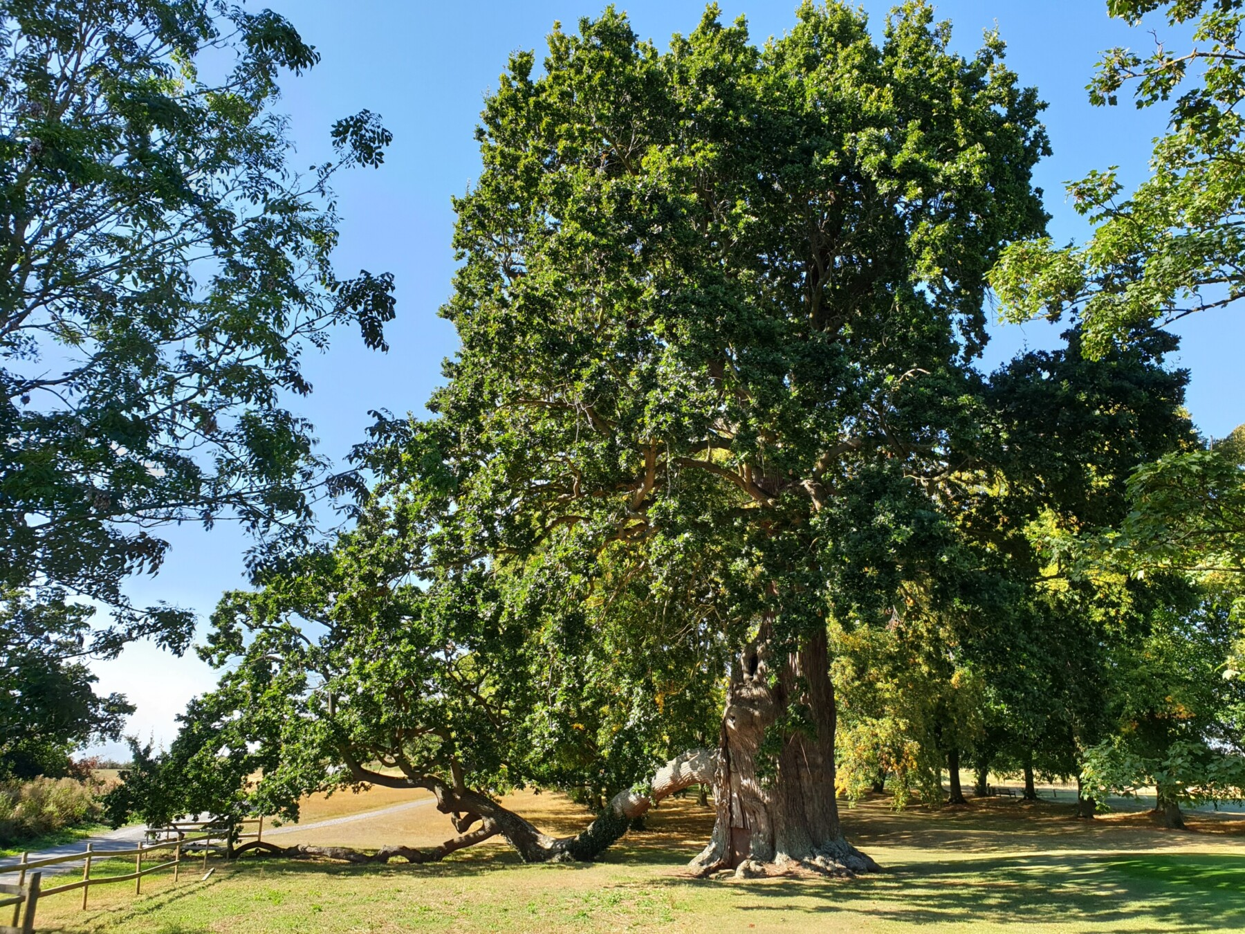 Pedigree Oak Trees of Provenance: 'Oaklings' with Special Lineages, with Benedict Pollard