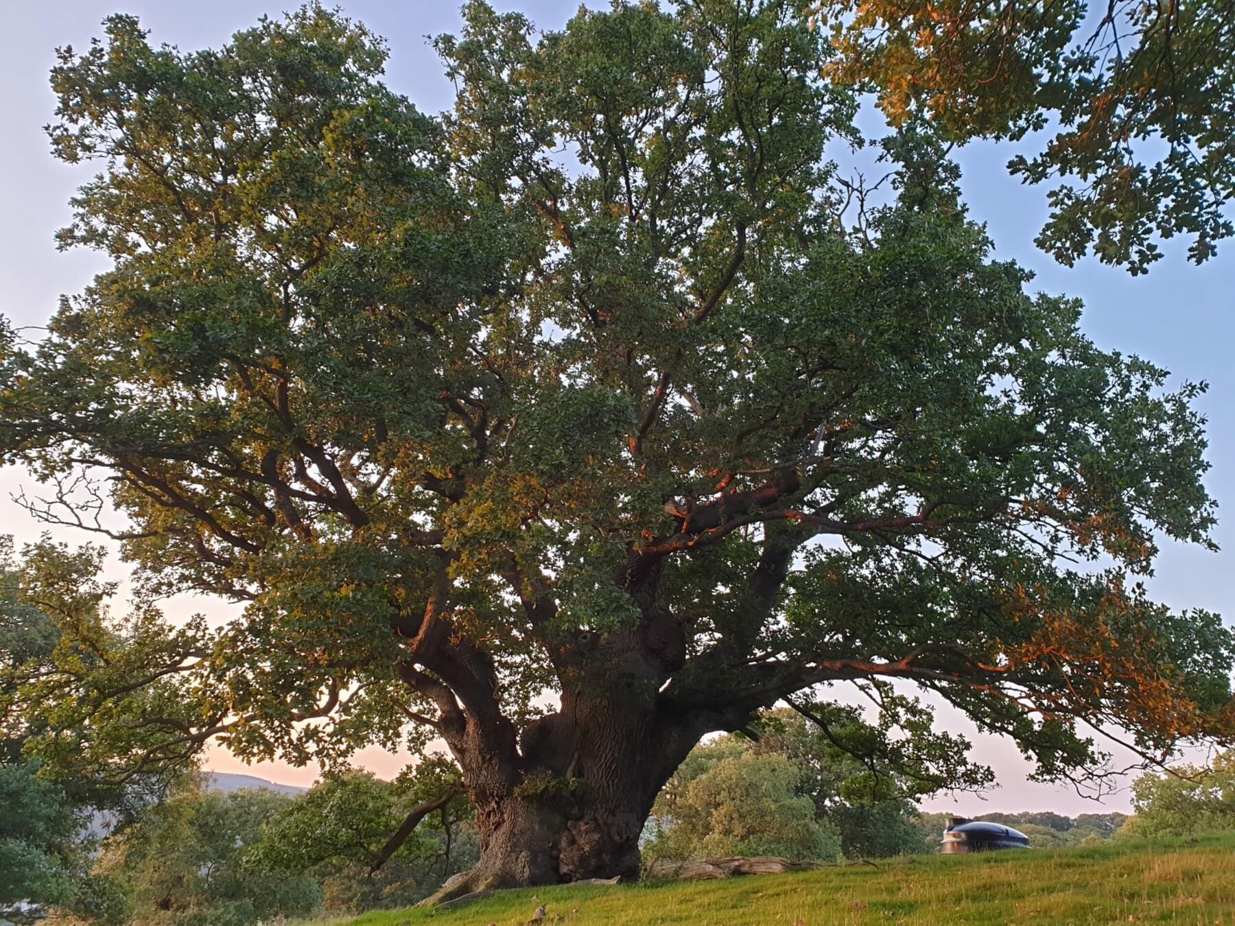 Triple Trunk Oak