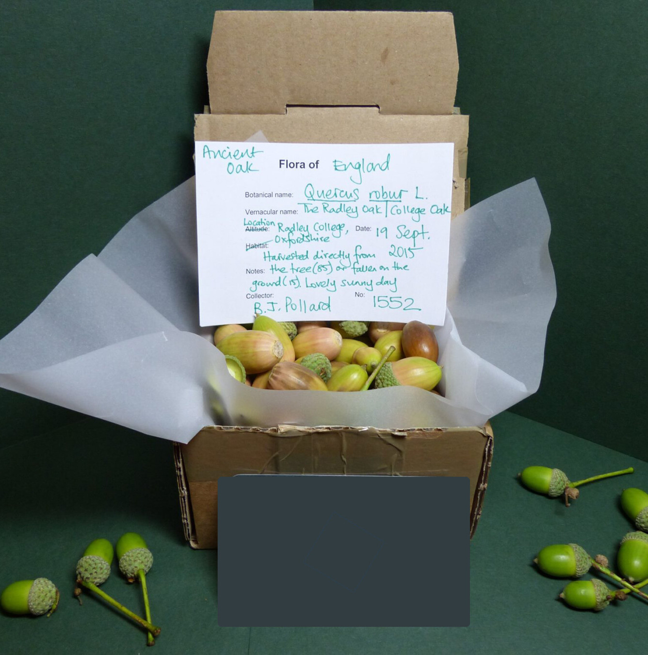 First acorns packaged ready to send to nursery
