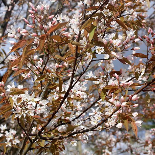 New Season Ornamental Trees Part 1