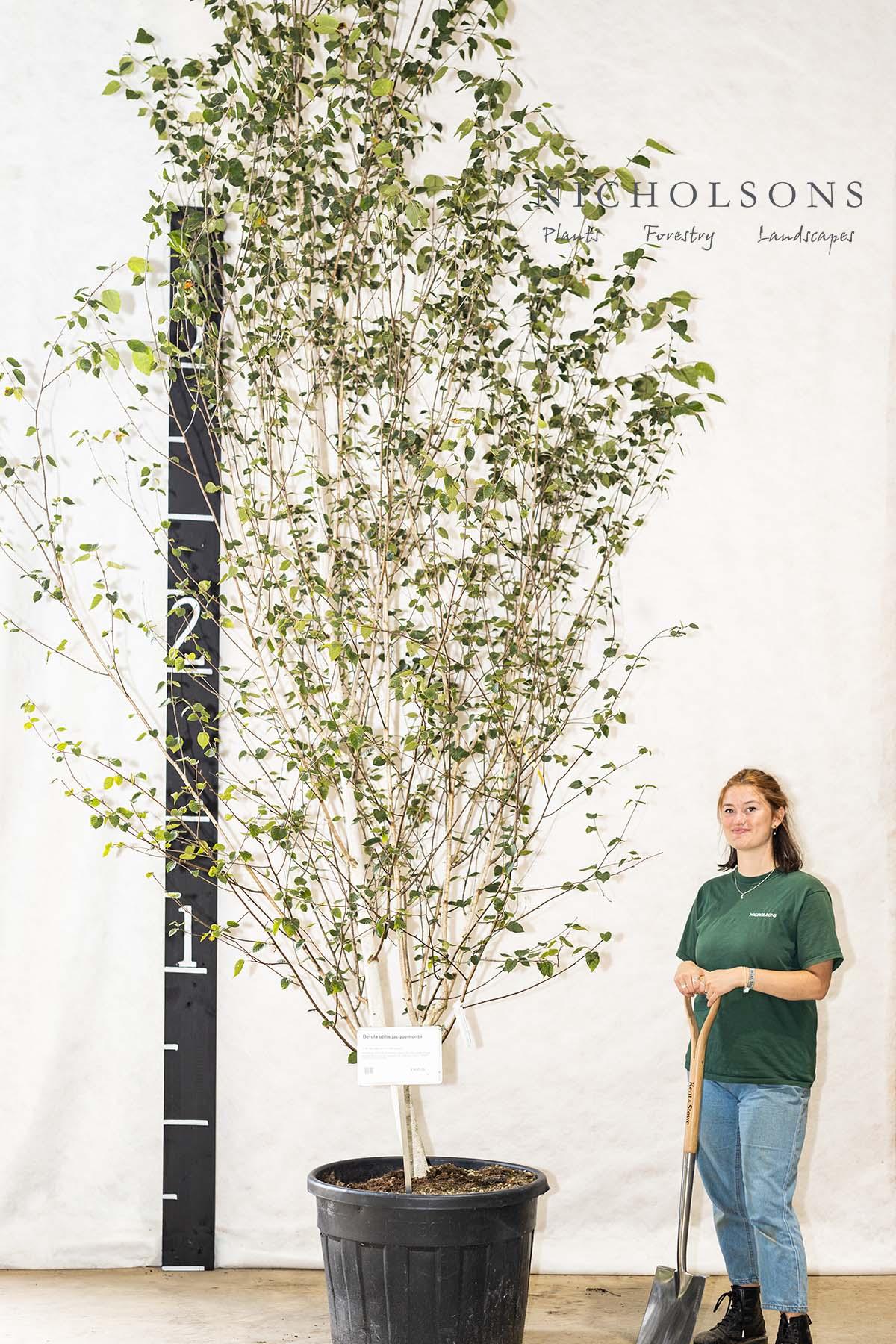 Multistem Trees Gallery