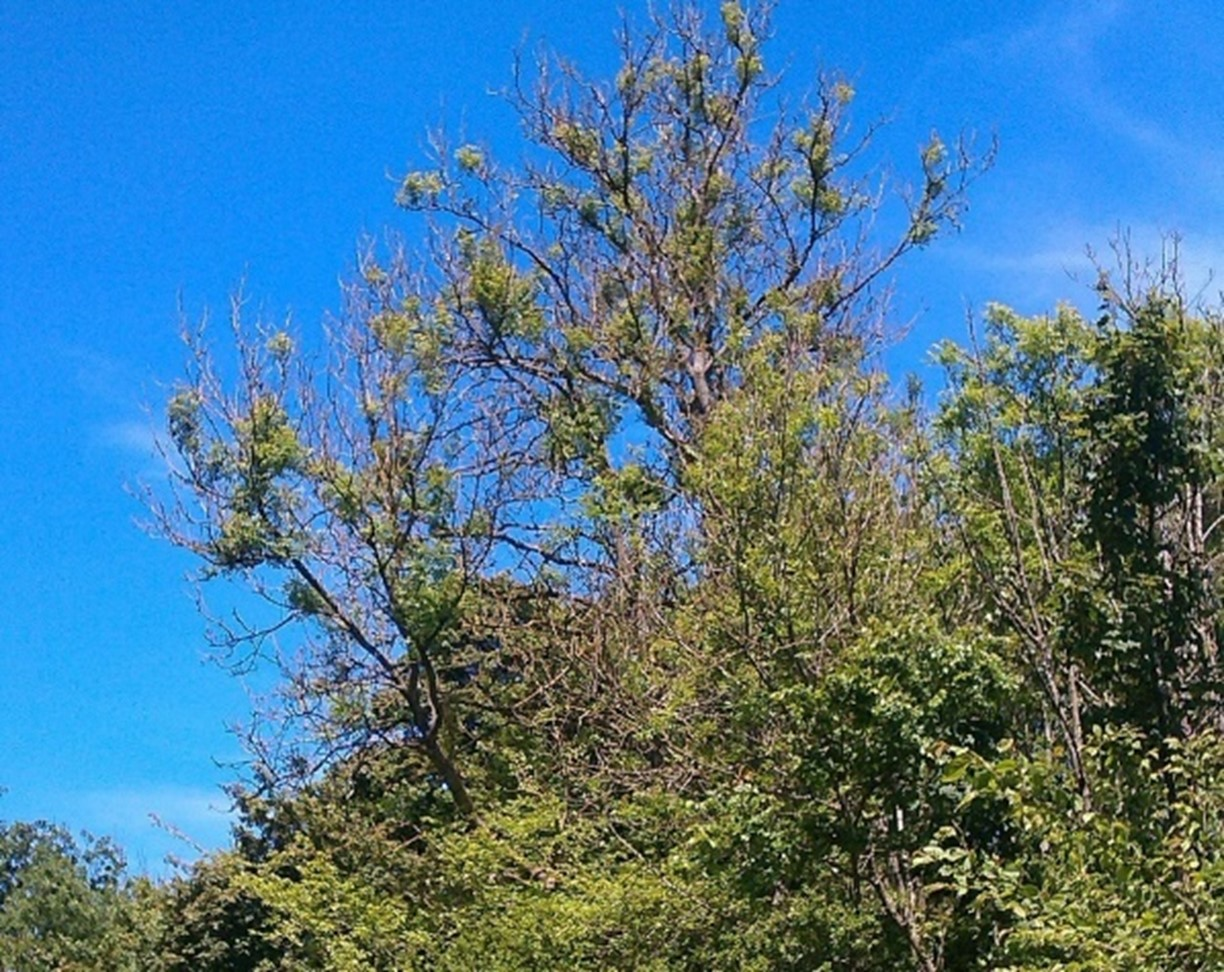 Ash Dieback: A Painful Reality